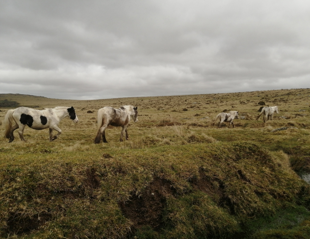 bodmin-moor-ponies-Daniel-Kavanagh